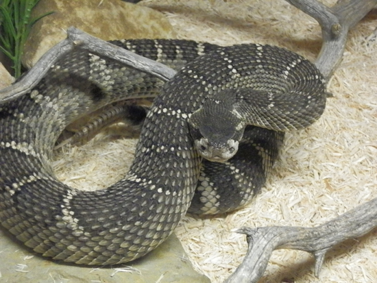 The Southern Pacific rattlesnake is a venomous pit viper found in Southern California and Baja California, Mexico.