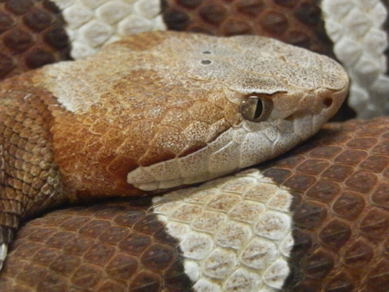 The Trans-Pecos copperhead is a venomous pit viper found in western Texas and northeastern Mexico.