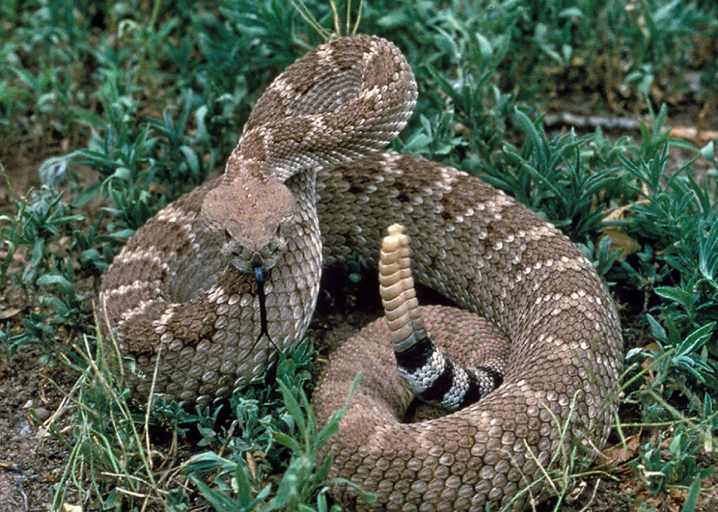 A Western Diamondback is seen in this undated file photo.
